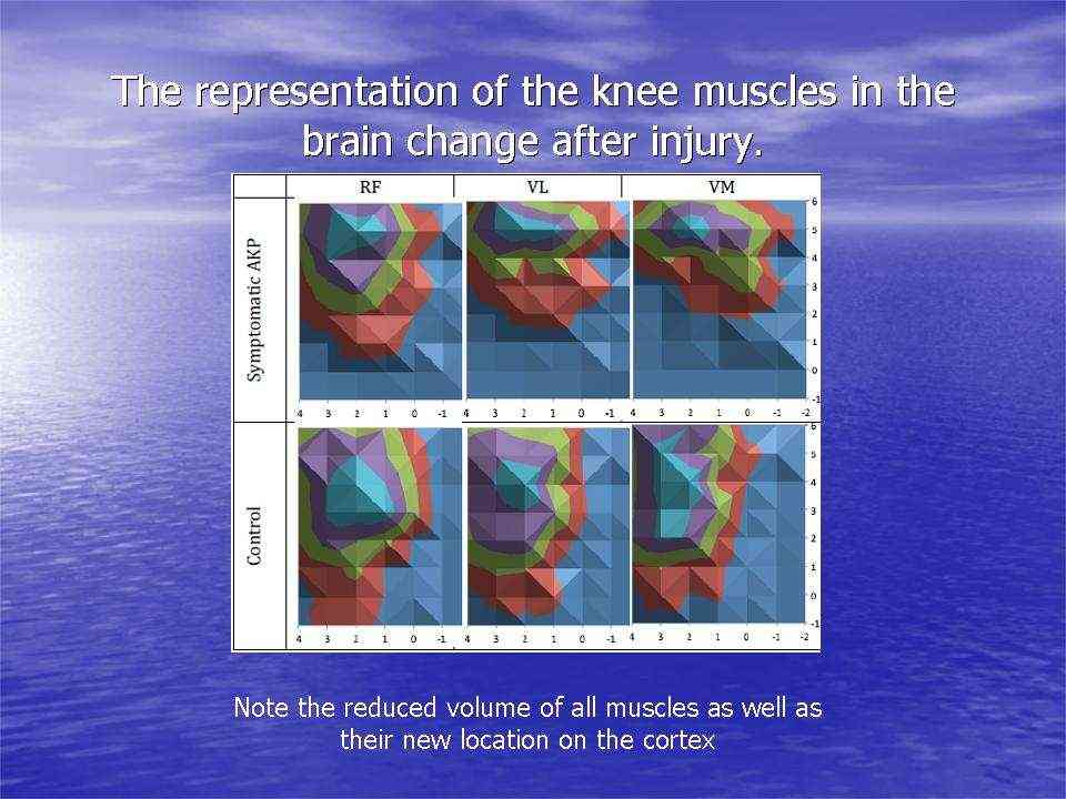The representation of the knee muscles in the brain